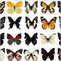 Link to100 species of butterflies psd layered highdefinition 1