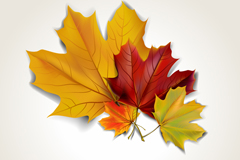 Link to5 beautiful autumn maple leaf chinese restaurant vector
