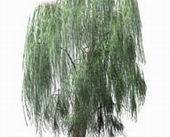 A big willow tree source psd