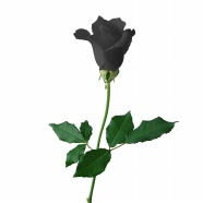 Link toA black rose pictures download