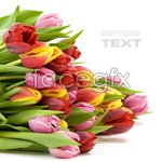 Link toA bunch of tulips psd