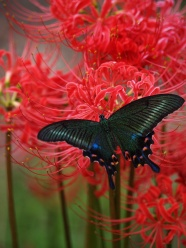 Link toAcross the black butterfly flower pictures