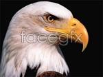 Link toAi realistic hawk vector
