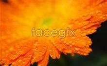 Link topicture chrysanthemum Autumn