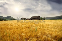 Link toAutumn harvest paddy views picture