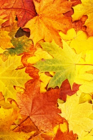 Link toAutumn maple leaf chinese restaurant hd pictures