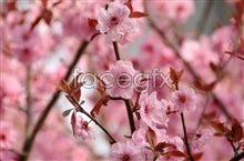 Link topictures sakura hd Beautiful