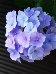 Link toBeautiful hydrangea pictures