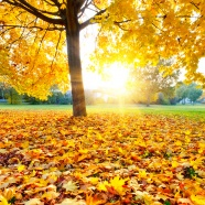 Link toBeautiful maple leaf pictures download