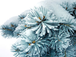 Link toBeautiful pine background pictures 01