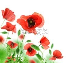Link toBeautiful poppy flowers