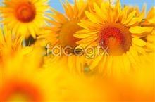 Link toBeautiful sunflower picture