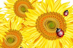 Beautiful sunflowers and ladybugs design vector