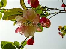 Link topictures flowers Begonia