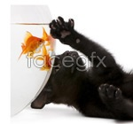 Link toBlack cat and goldfish of 1 psd