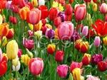 Link toBlooming tulip psd