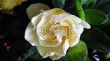 Link topictures gardenia white Blossom
