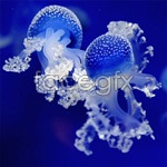 Link toBlue jellyfish psd