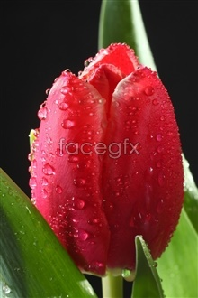 Link toBright red tulip picture