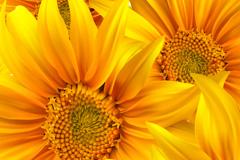 Link toBright sunflower vector