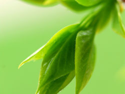 Link toBud green leaves and dew feature hd picture