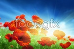Link toBush poppies psd