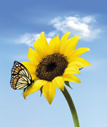Link toButterfly on a sunflower vector