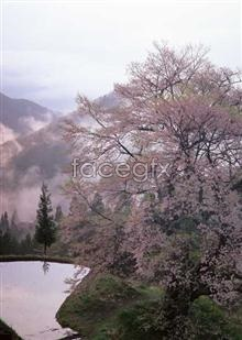 Link toCherry blossom pictures