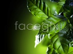 Link toCoffee tree leaves psd
