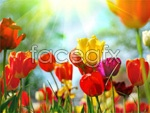 Link toColorful tulips psd