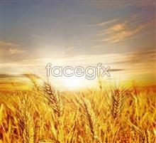 Link toCornfield landscape landscape pho