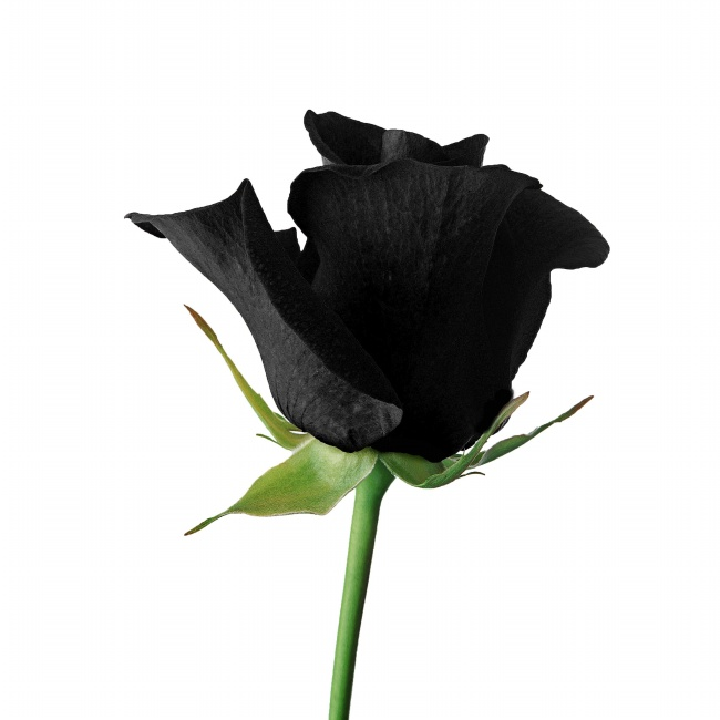 Black roses picture material over millions vectors for How to make black roses