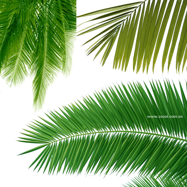 Coconut tree leaves feature hd picture material 3p over coconut tree leaves feature hd picture material 3p toneelgroepblik Image collections