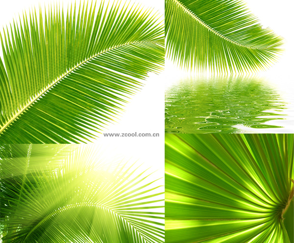 Coconut tree leaves feature hd picture material 4p over millions coconut tree leaves feature hd picture material 4p toneelgroepblik