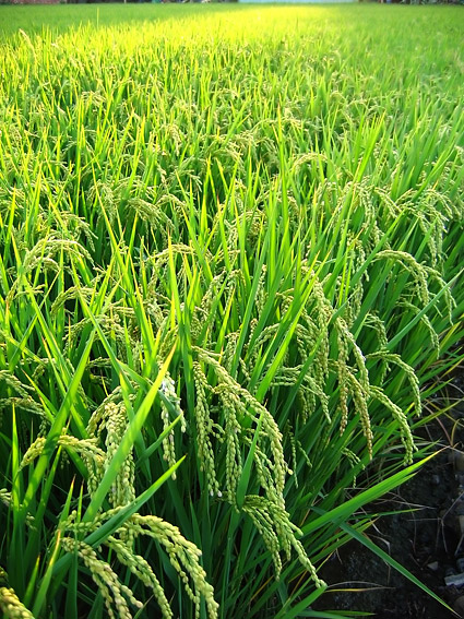 Green rice fields psd over millions vectors stock photos hd green rice fields psd toneelgroepblik Choice Image