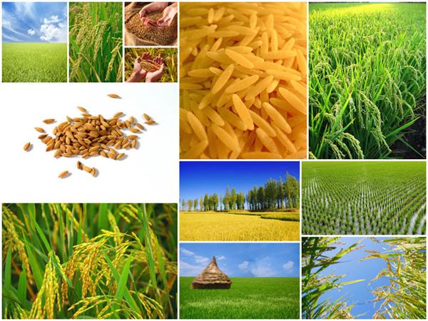 Rice crop psd over millions vectors stock photos hd pictures rice crop psd toneelgroepblik Gallery