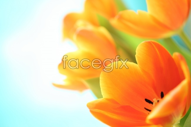 Tulip high definition pictures