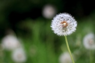 Link toDandelion hd picture download