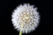Link toDandelion pictures