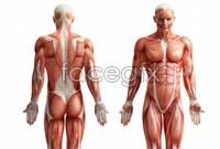 Link toDownload hd human muscle anatomy diagrams