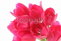 Link toDownload hd red tulip flower pictures