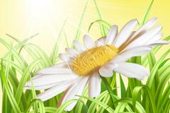 Link toElegant daisy vector