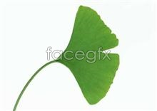 Link toFan-shaped leaves pictures