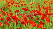 Link topicture poppies Flamboyant