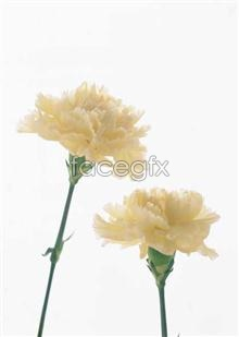 Link to1700 close-up Flowers