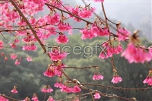Link toForest park mountain cherry blossom pictures