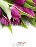 Link toFresh tulips 2 psd