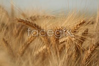 Link toFusarium ear high definition pictures