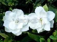 picture Gardenia