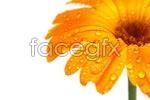 Link toGolden daisy psd